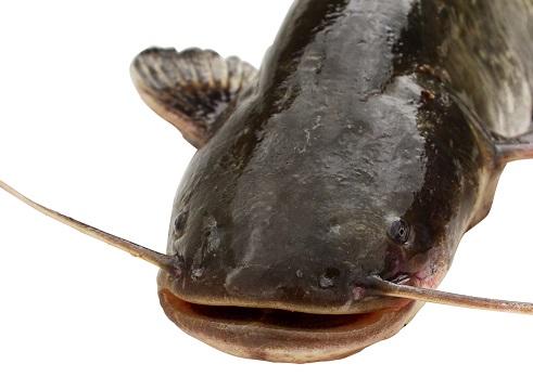 pesca pesce gatto