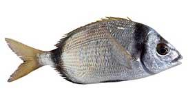 pesce sarago
