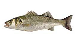 pesce spigola