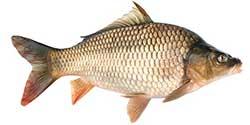 pesce carpa
