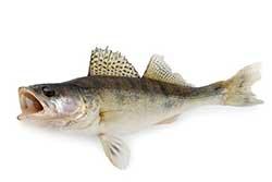 pesce lucioperca